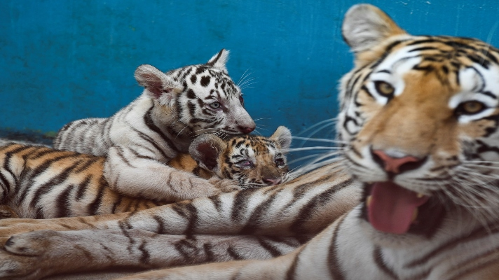 pasaron-20-anos-yanek-es-la-primera-tigresa-blanca-nacida-en-zoologico-de-cuba