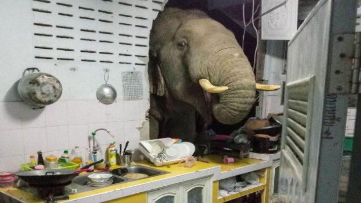 visita-inesperada-familia-en-tailandia-recibe-diariamente-a-un-elefante-en-su-cocina