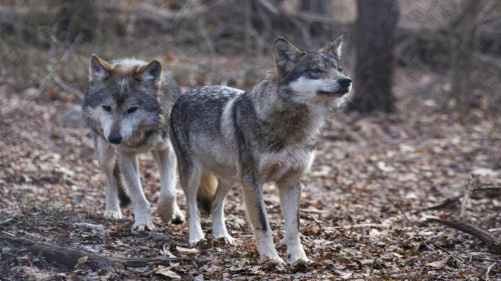 por-primera-vez-en-80-anos-nacen-lobos-grises-en-colorado-estados-unidos