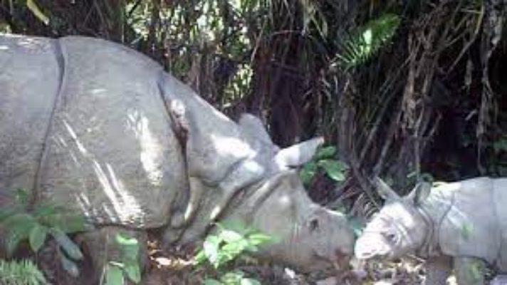 de-los-mamiferos-mas-amenazados-avistan-en-indonesia-dos-crias-de-rinoceronte-de-java