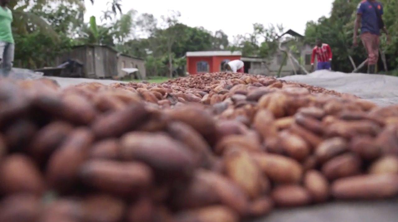 Cultivos de cacao aportan en la erradicación de cultivos de hoja de coca