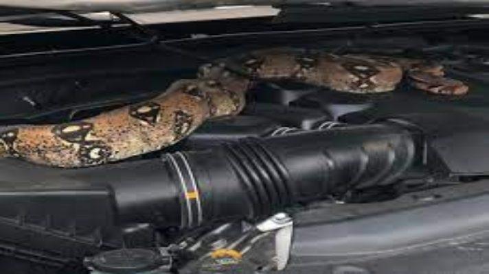 impresionante-el-lugar-donde-encontraron-enrollada-una-serpiente-boa-en-carabobo